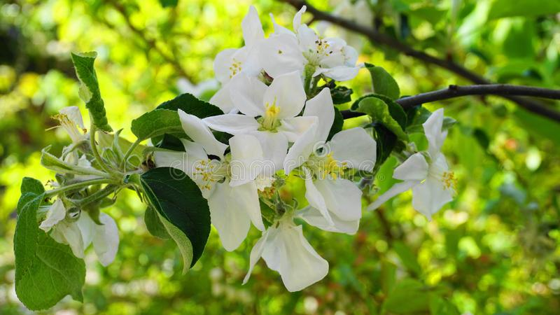 Pi?kni i delikatni jab?czani kwiaty w ranku s?o?cu zamykaj? w g?r? jab?czana ogrodu zdj?cia wiosna kwiat zdjęcia stock