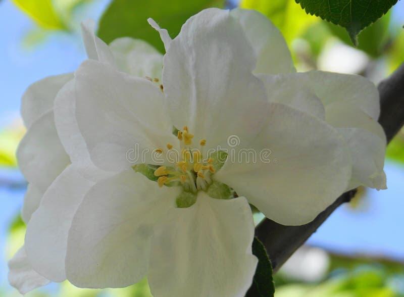Pi?kni i delikatni jab?czani kwiaty w ranku s?o?cu zamykaj? w g?r? jab?czana ogrodu zdj?cia wiosna kwiat obraz royalty free