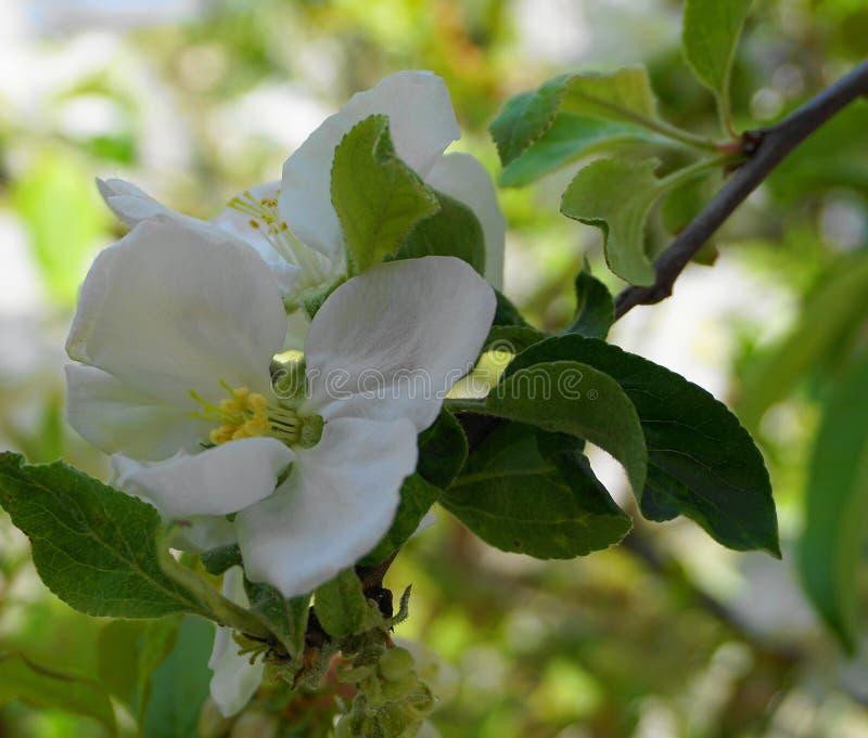 Pi?kni i delikatni jab?czani kwiaty w ranku s?o?cu zamykaj? w g?r? jab?czana ogrodu zdj?cia wiosna kwiat fotografia royalty free