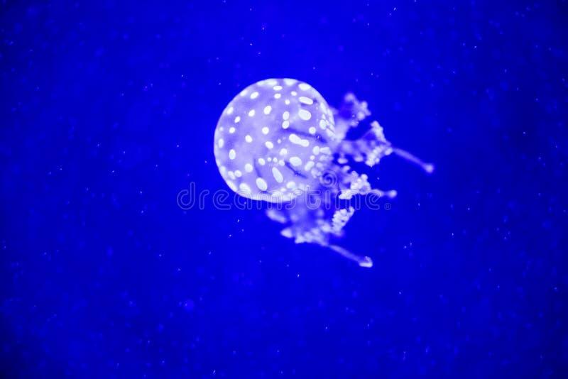 Pi?kni jellyfish, meduza w neonowym ?wietle z ryba Podwodny ?ycie w ocean?w jellyfish podniecaj?cy i pozaziemski widok zdjęcia stock
