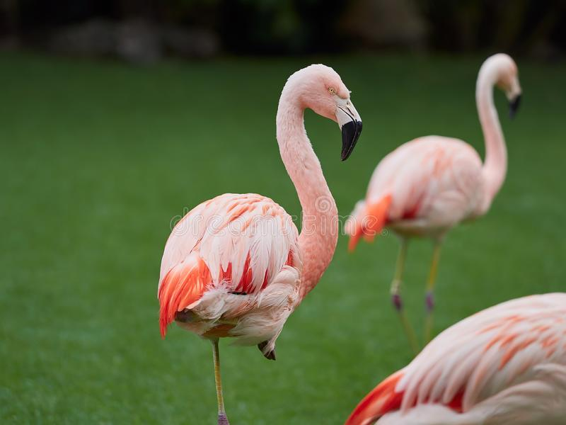 Pi?kni r??owi flaming?w ptaki przy Loro Parkuj? Loro Parque, Tenerife, wyspy kanaryjskie, Hiszpania fotografia stock