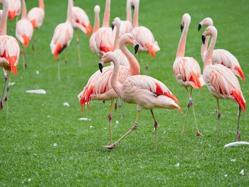 Pi?kni r??owi flaming?w ptaki przy Loro Parkuj? Loro Parque, Tenerife, wyspy kanaryjskie, Hiszpania obrazy stock