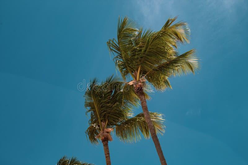 Pi?kni, wysocy i nikli drzewka palmowe w Bavaro pla?y, Punta Cana Urlopowy lub wakacyjny poj?cie zdjęcia royalty free
