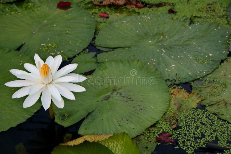 pi?kno lotosowi kwiaty na pogodnym ranku w strumieniu woda w Banjarmasin, Po?udniowy Kalimantan Indonezja obraz royalty free