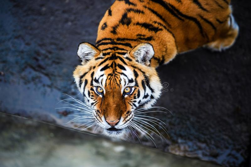 Pi?kny Amur tygrys obrazy royalty free