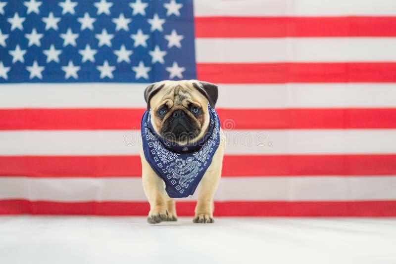 Pi?kny be?owy szczeniaka mops na tle flaga ameryka?ska na dniu niepodleg?o?ci zdjęcie royalty free