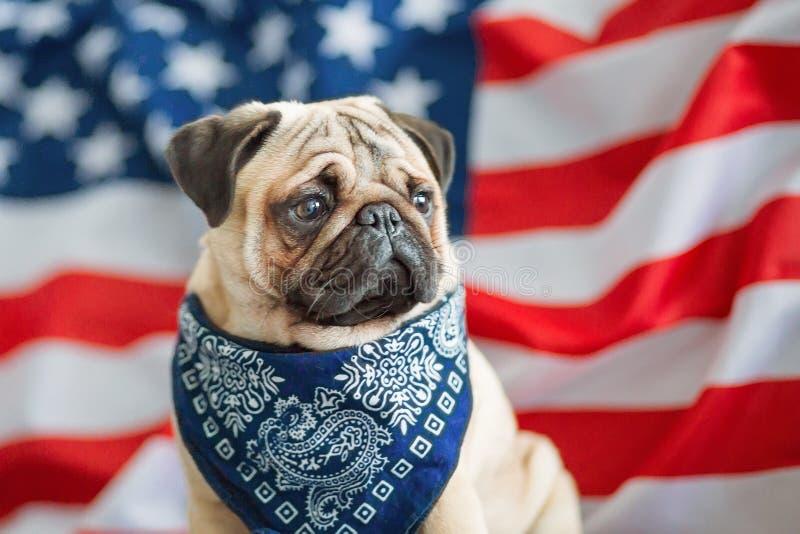 Pi?kny be?owy szczeniaka mops na tle flaga ameryka?ska na dniu niepodleg?o?ci zdjęcia royalty free