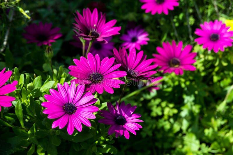 Pi?kny bez kwitnie jak stokrotka Osteospermum Eklon Osteospermum ecklonis na tle zieleni li?cie Zako?czenie fotografia stock