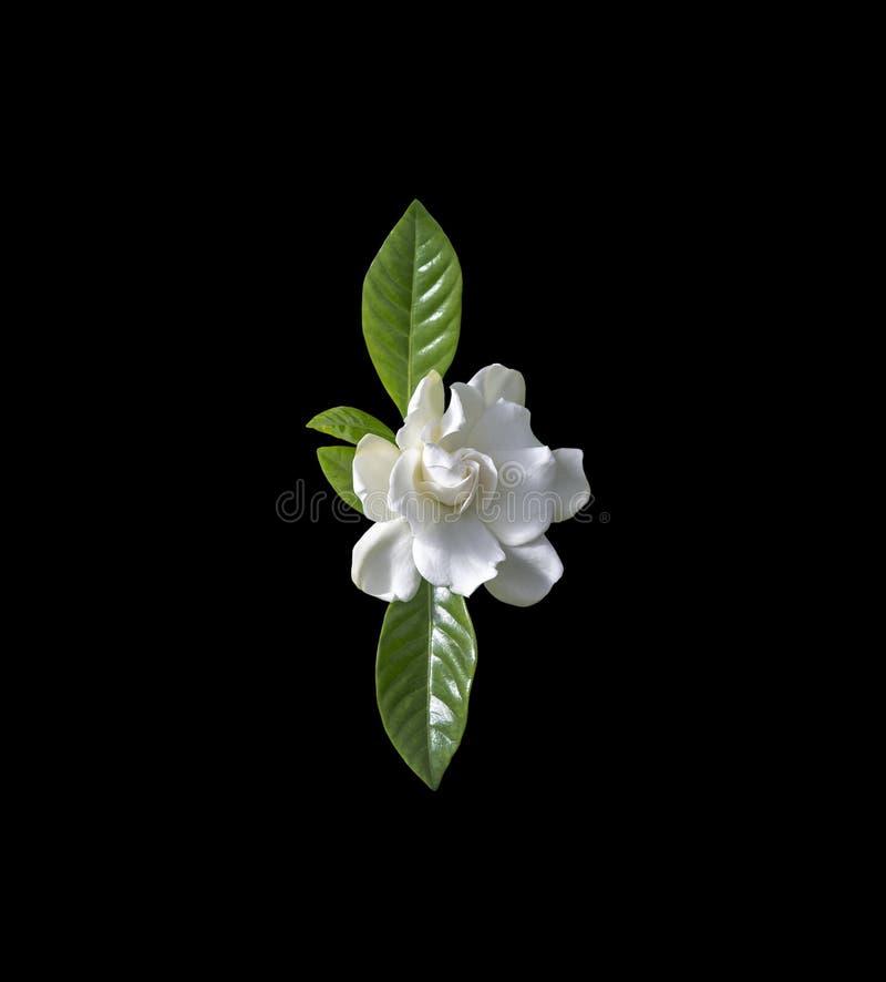 Pi?kny bia?y gardenia kwiatu zbli?enie obraz royalty free