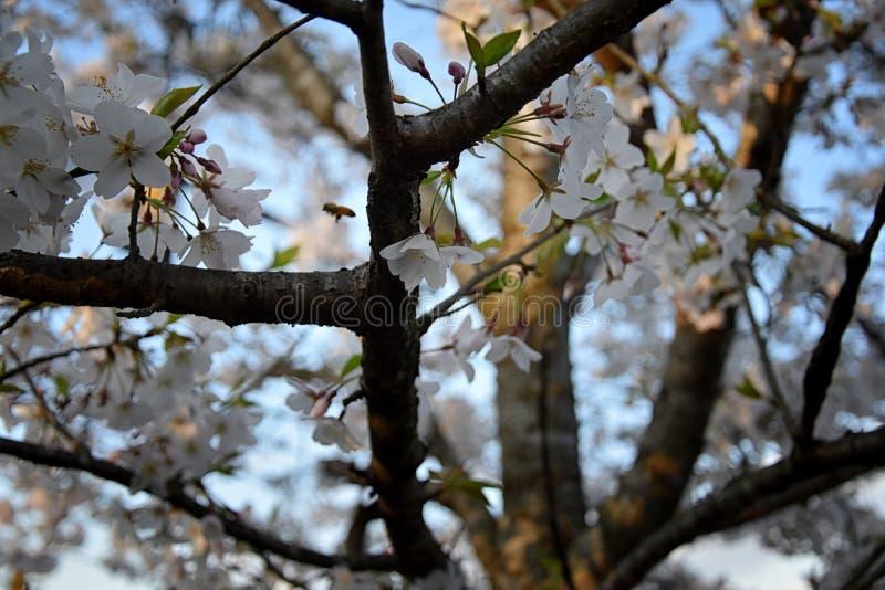 Pi?kny bia?y i r??owy owocowego drzewa okwitni?cie gromadzi si? w wiosna czasie, doskonali? nektar dla pszcz?? Zamyka w g?r? wido obraz stock
