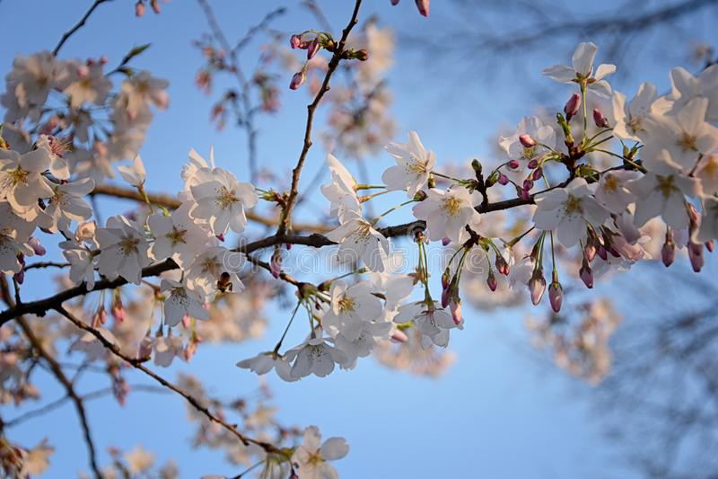 Pi?kny bia?y i r??owy owocowego drzewa okwitni?cie gromadzi si? w wiosna czasie, doskonali? nektar dla pszcz?? Zamyka w g?r? wido zdjęcie stock