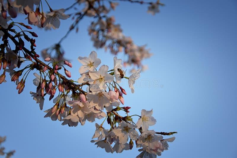 Pi?kny bia?y i r??owy owocowego drzewa okwitni?cie gromadzi si? w wiosna czasie, doskonali? nektar dla pszcz?? Zamyka w g?r? wido zdjęcie royalty free