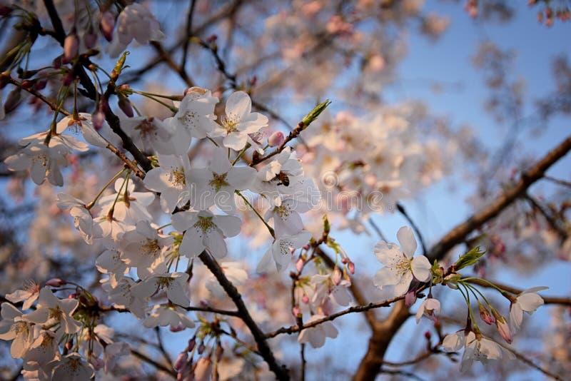 Pi?kny bia?y i r??owy owocowego drzewa okwitni?cie gromadzi si? w wiosna czasie, doskonali? nektar dla pszcz?? Zamyka w g?r? wido obrazy stock