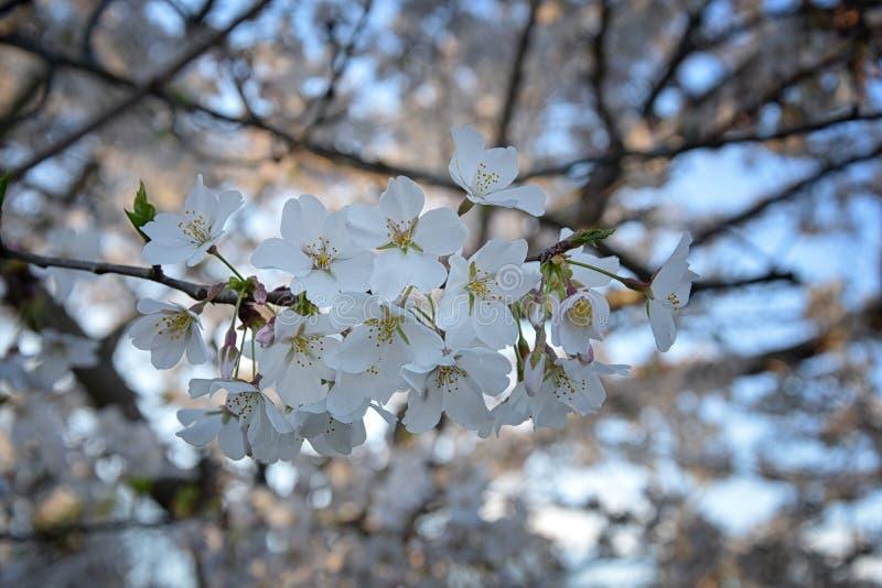 Pi?kny bia?y i r??owy owocowego drzewa okwitni?cie gromadzi si? w wiosna czasie, doskonali? nektar dla pszcz?? Zamyka w g?r? wido zdjęcia stock
