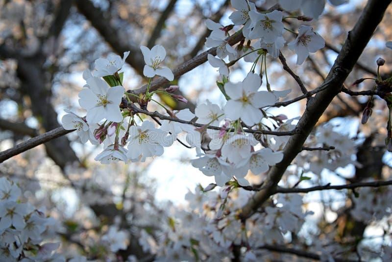 Pi?kny bia?y i r??owy owocowego drzewa okwitni?cie gromadzi si? w wiosna czasie, doskonali? nektar dla pszcz?? Zamyka w g?r? wido fotografia royalty free