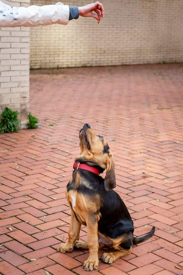 Pi?kny Bloodhound szczeniak przy 5 miesi?cami obraz royalty free