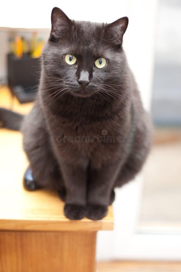 Download Piękny czarny kot obraz stock. Obraz złożonej z futerko - 13332189