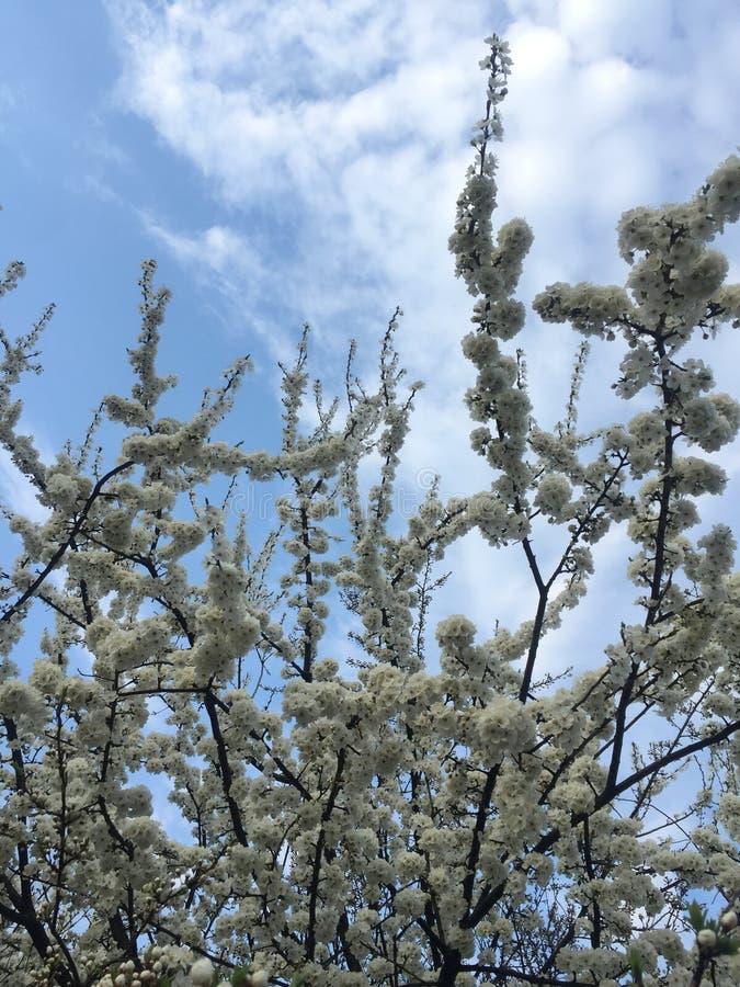 Pi?kny Czere?niowy drzewo w okwitni?ciu na niebieskiego nieba tle obrazy stock