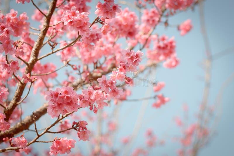 Pi?kny czere?niowy okwitni?cie Sakura obrazy stock