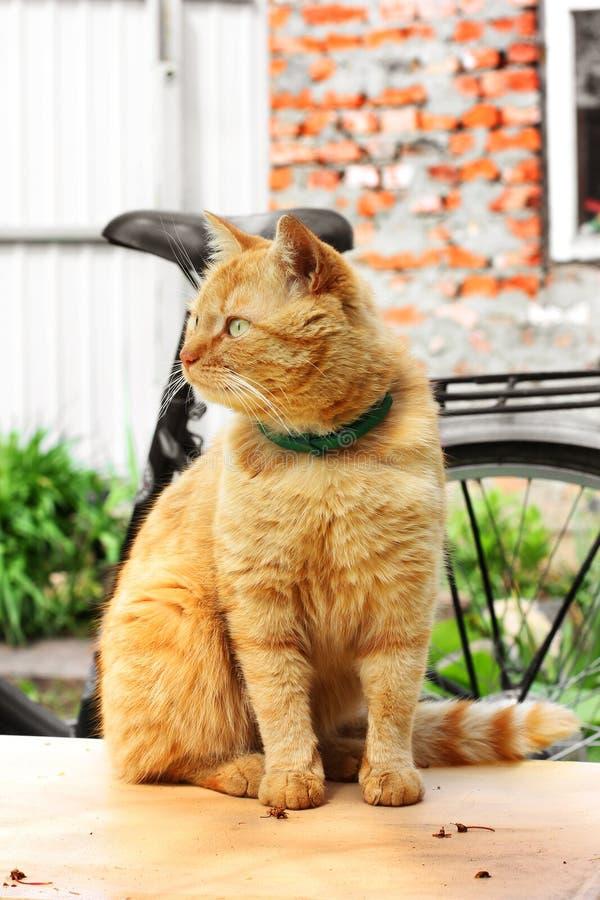 Pi?kny czerwony kota zako?czenie Kot siedzi na stole zdjęcie royalty free