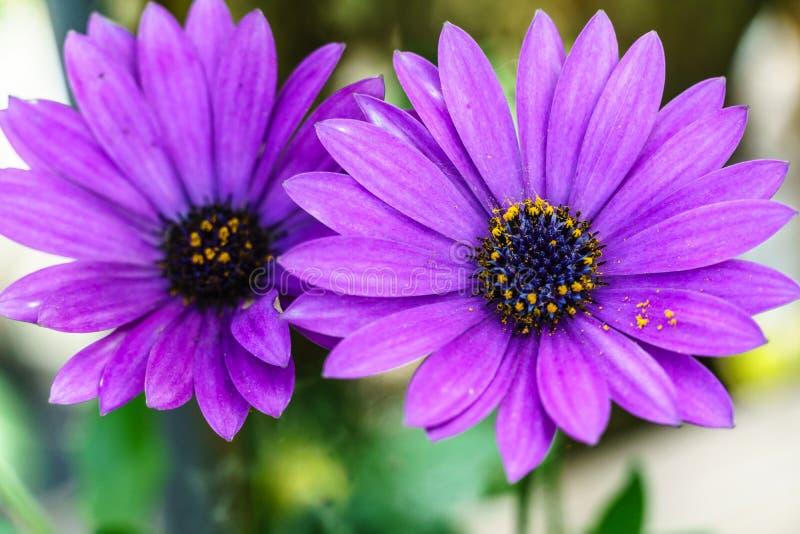 Pi?kny fio?kowy kwiat, Makro- strza? obrazy stock