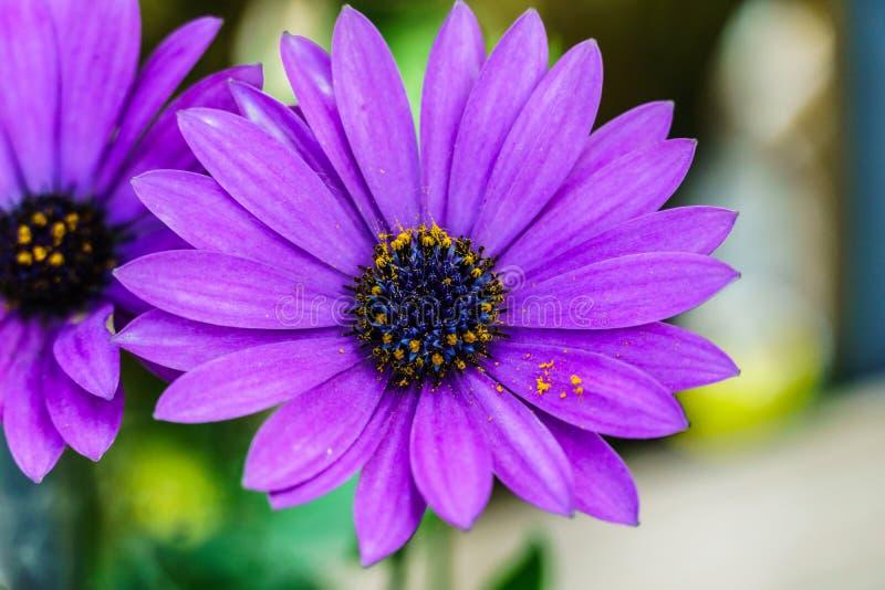 Pi?kny fio?kowy kwiat, Makro- strza? zdjęcie stock