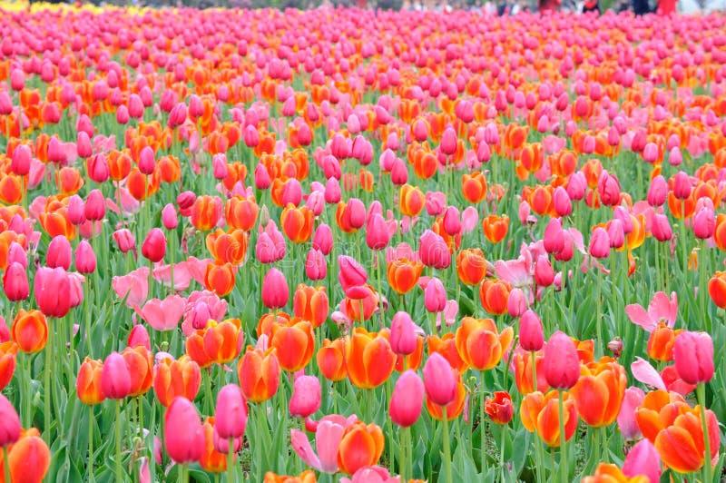 Pi?kny i elegancki czerwony tulipan po deszczu zdjęcie royalty free