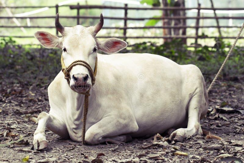 Pi?kny India?ski ?wi?ty bia?y krowy zebu k?ama pokojowo w tropikalnego lasu deszczowego portrecie India?ska bia?a humpback krowa  obrazy royalty free