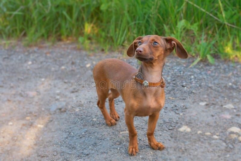 Pi?kny jamnika szczeniaka pies z smutnymi oczami jest prze?ladowanym portret zdjęcia stock