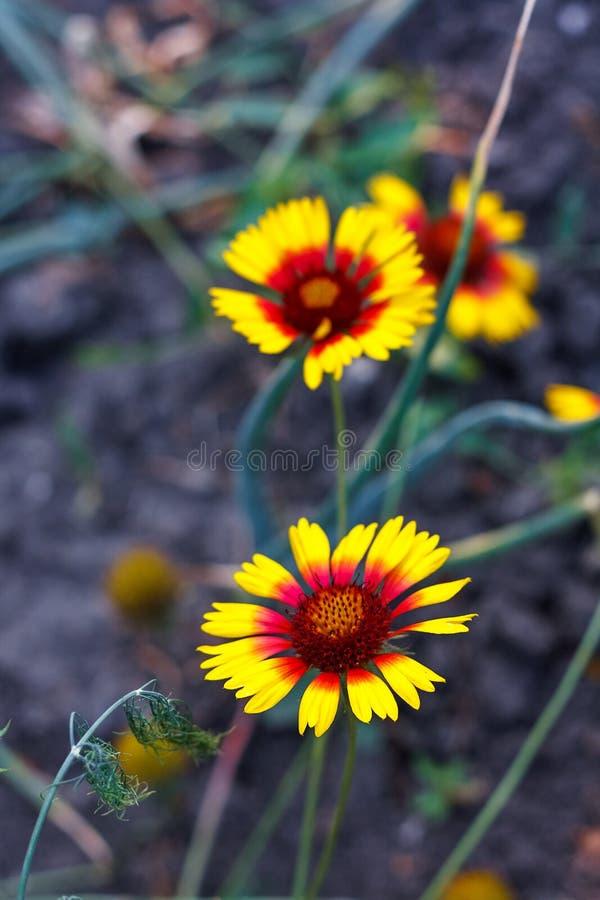 Pi?kny jaskrawy kwiatu rudbeckia na kwitnienie zieleni ??ce fotografia stock