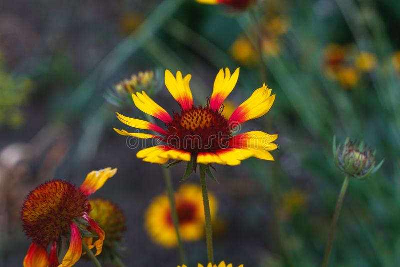 Pi?kny jaskrawy kwiatu rudbeckia na kwitnienie zieleni ??ce zdjęcia stock
