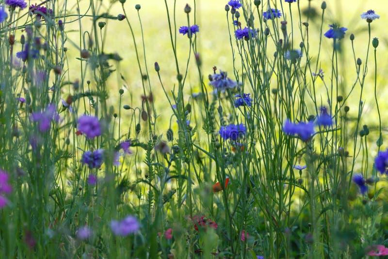 Pi?kny ??ki pole z dzikimi kwiatami Wiosen Wildflowers zbli?enie t?o zamazywa? opieki poj?cia twarzy zdrowie maski pigu?k? ochron obrazy stock