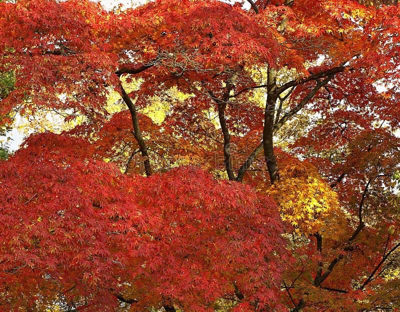 Pi?kny Klonowy drzewo w jesieni zdjęcie stock