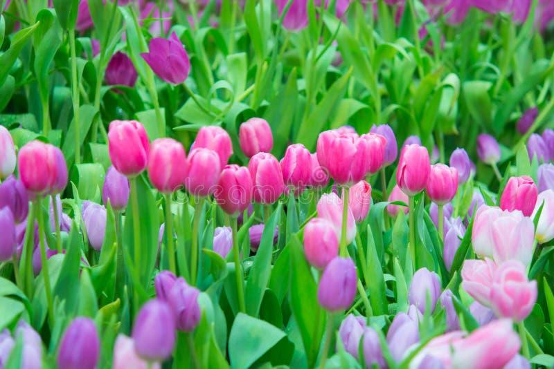 Download Piękny Kolorowy Tulipanowy Kwiat Zdjęcie Stock - Obraz złożonej z linie, naturalny: 57660348