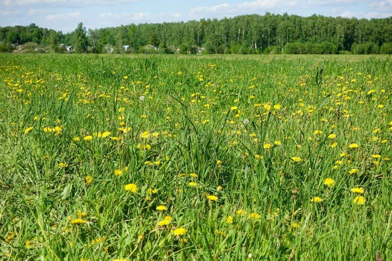 pi?kny krajobrazowy pastoralny Pole z kolorów żółtych kwiatami i zieloną trawą obraz stock