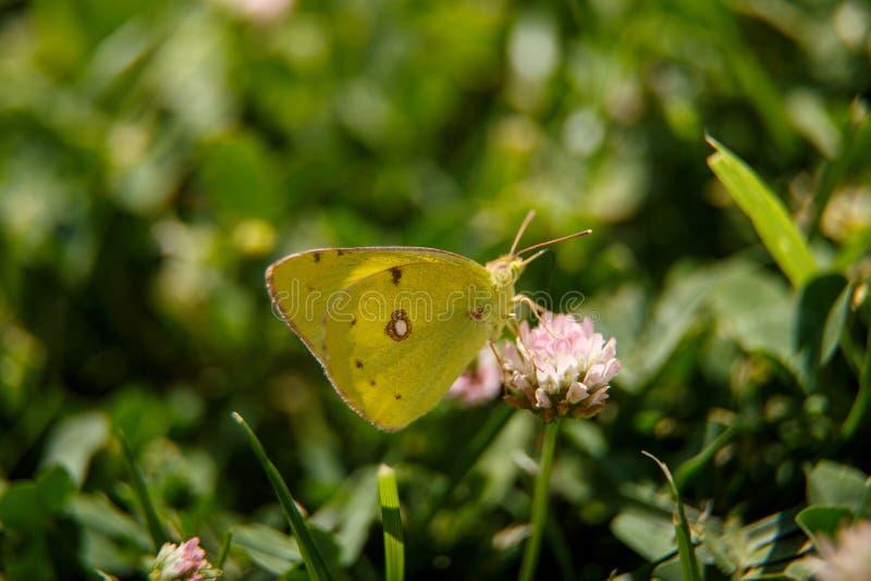 Pi?kny motyli napoju nektar od r??owego kwiatu na s?onecznym dniu makrofotografia selekcyjna ostro?? z ma?ym chwytem obrazy stock