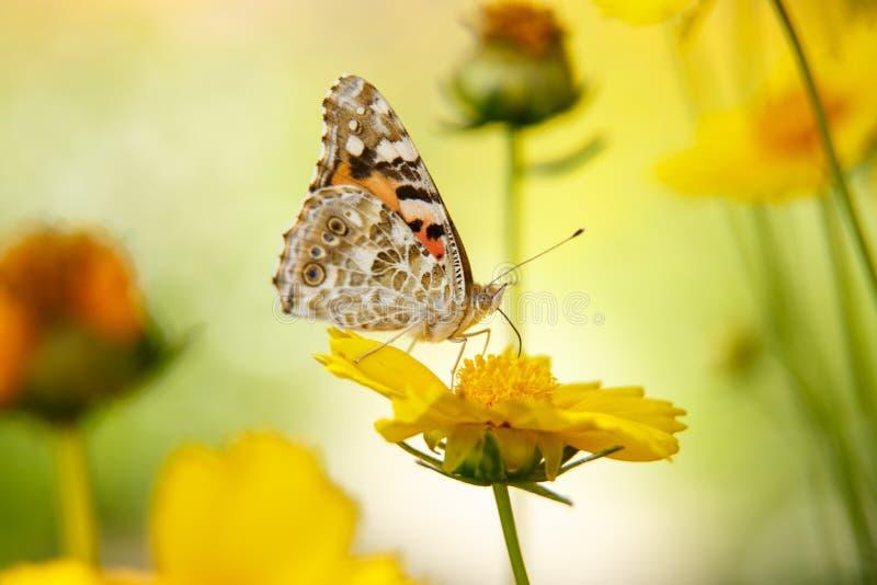 Pi?kny motyli napoju nektar od ? obrazy stock