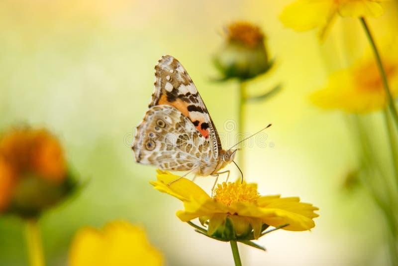 Pi?kny motyli napoju nektar od ? obrazy royalty free