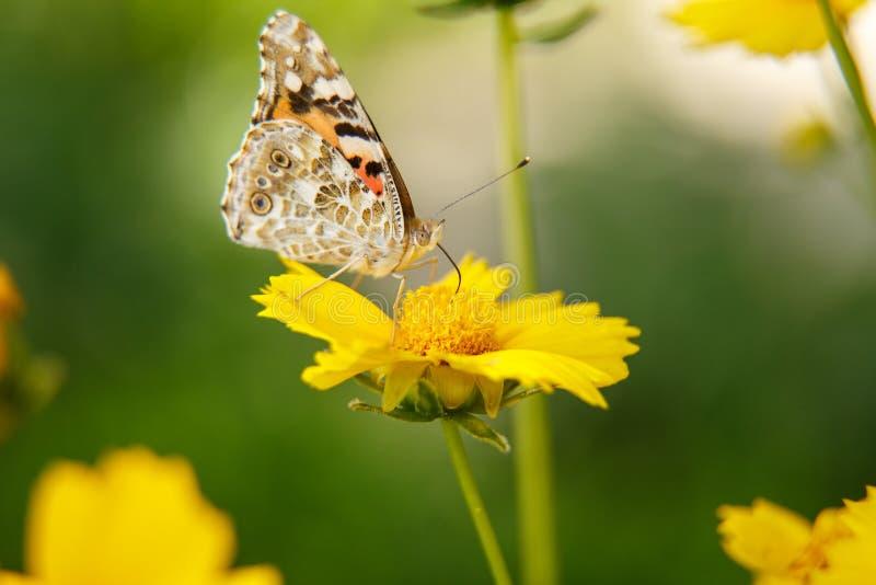 Pi?kny motyli napoju nektar od ? obraz stock