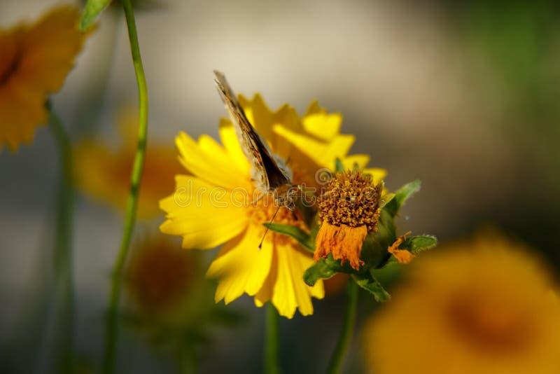 Pi?kny motyli napoju nektar od ? zdjęcie royalty free