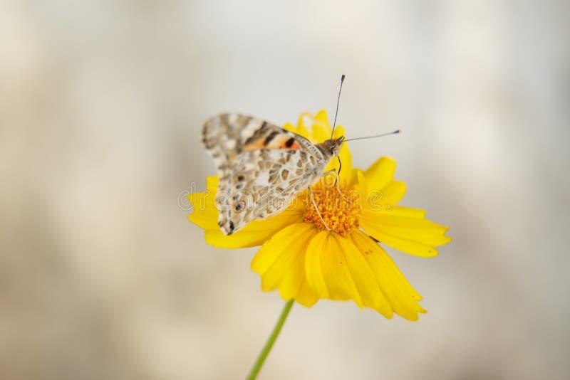 Pi?kny motyli napoju nektar od ? fotografia stock