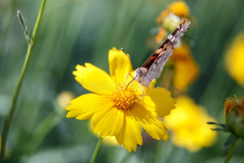 Pi?kny motyli napoju nektar od ? zdjęcie stock