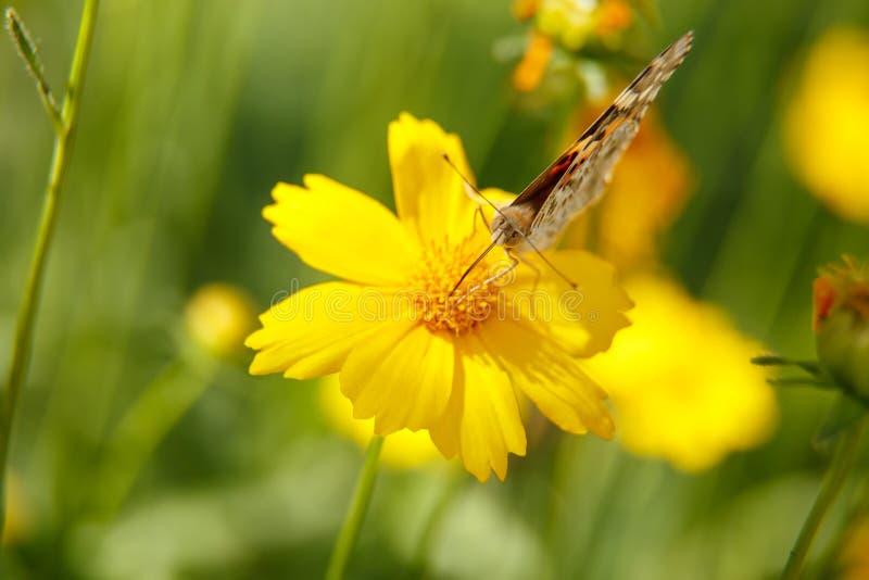 Pi?kny motyli napoju nektar od ? obraz royalty free