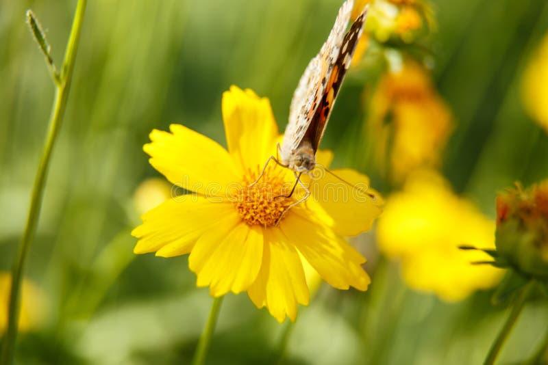 Pi?kny motyli napoju nektar od ? fotografia royalty free
