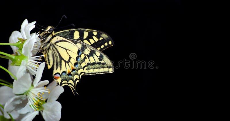 Pi?kny motyli obsiadanie na kwiacie odizolowywaj?cym na czerni Motyla i kwiecenia gałąź wiśnia Swallowtail motyl, Papili zdjęcia stock