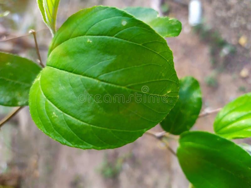 pi?kny natura li?cia zieleni owal Ziziphus jujuby m?yn obrazy stock