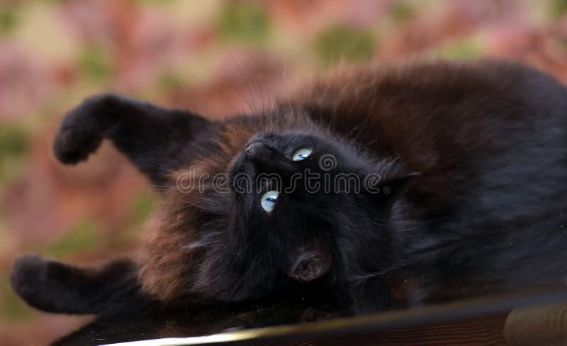 Pi?kny puszysty czarny kot k?ama na szklanym stole zdjęcia royalty free