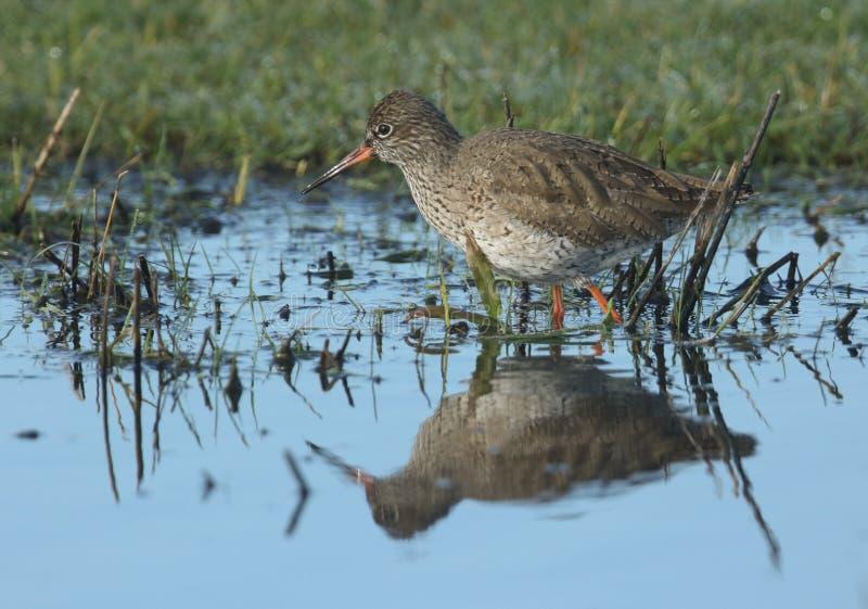 Pi?kny Redshank, Tringa totanus, watuje w wodnym polowaniu dla jedzenia w zalewaj?cej ??ce zdjęcia royalty free