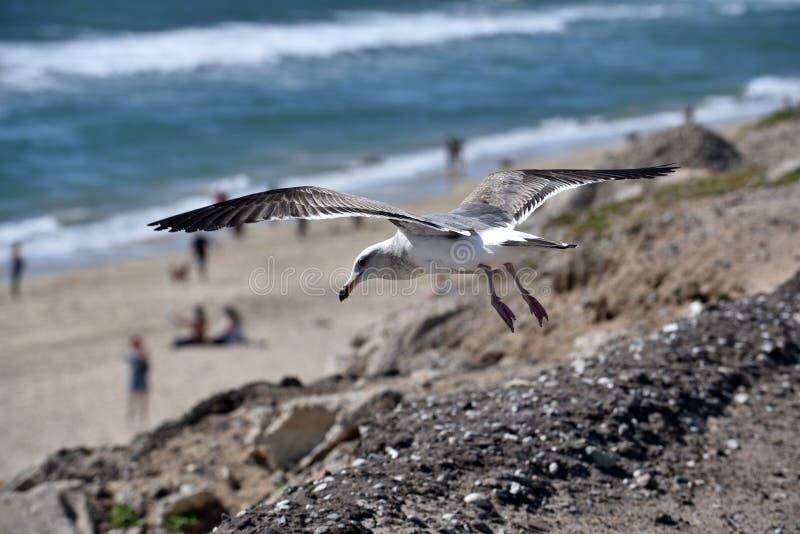 Pi?kny seagull zbli?enie fotografia royalty free