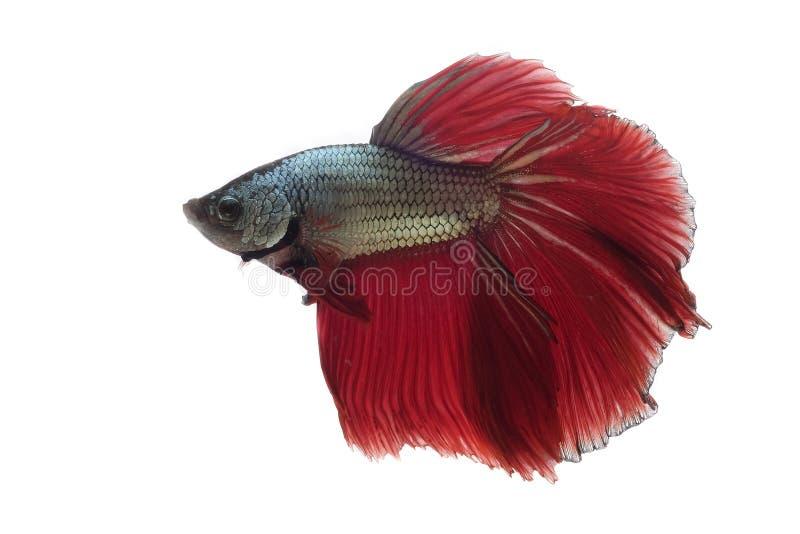 Pi?kny Siam Betta ryba w Thailand na bielu obraz stock